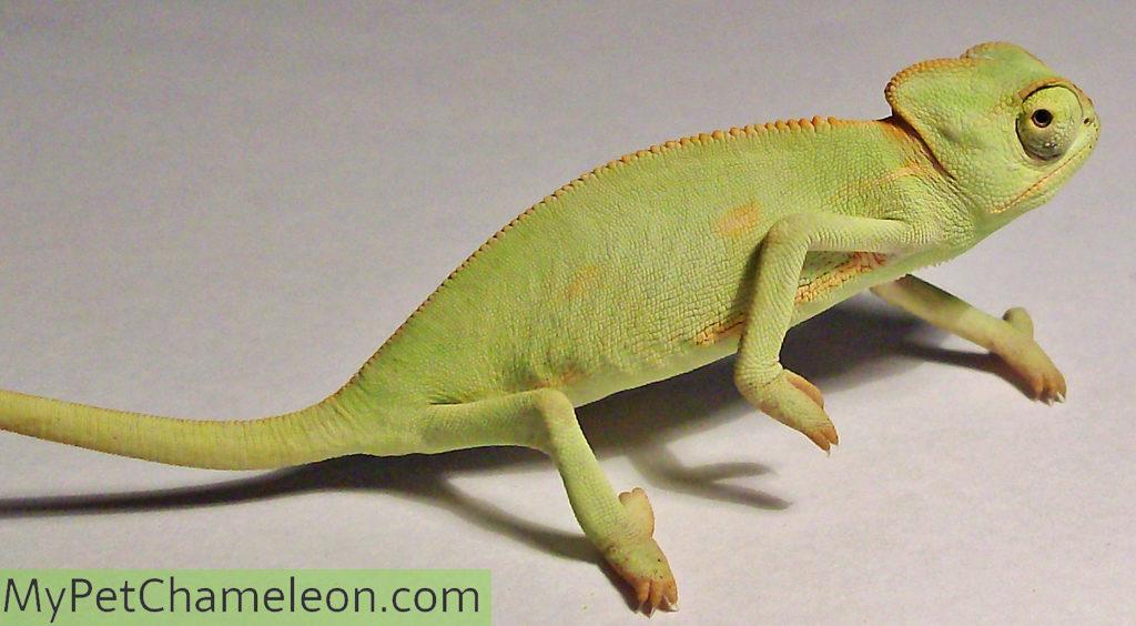baby-veiled-chameleon2