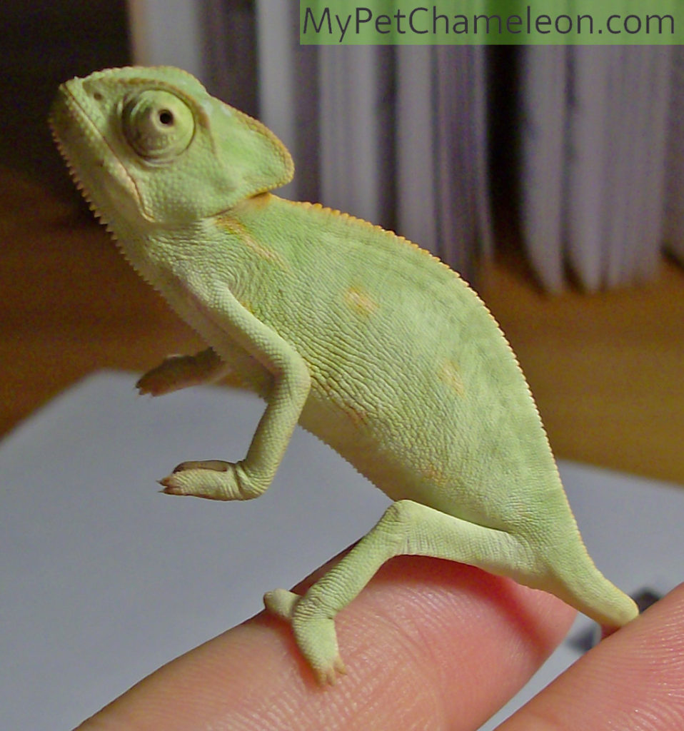 3 month old veiled chameleon