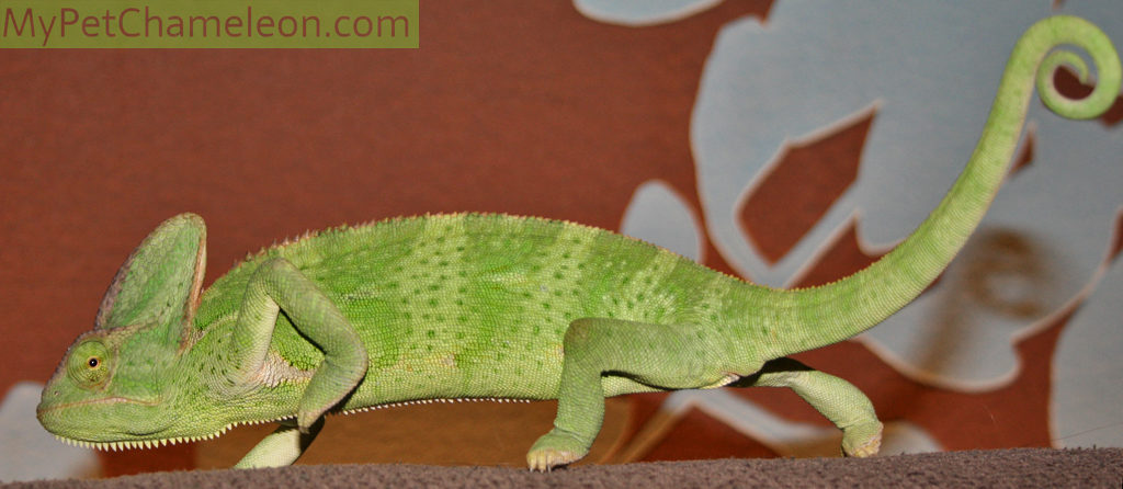 Healthy veiled chameleon female