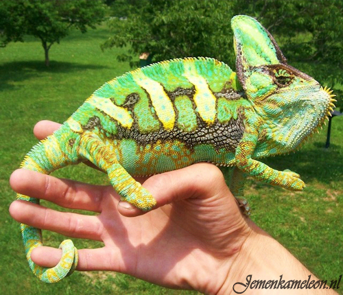 Adult male veiled chameleon in threatening colors