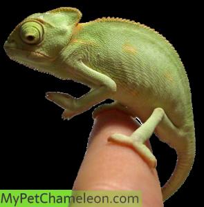 baby-chameleon-veiled