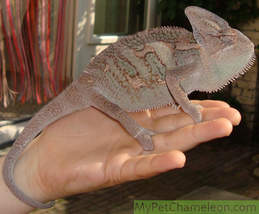 dark-color-veiled-chameleon