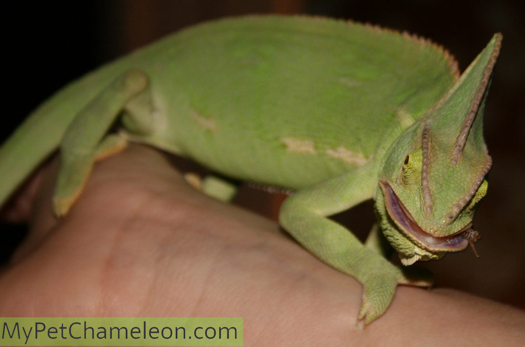 Chameleon munching down on a cricket