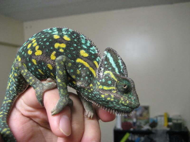 Female veiled chameleon in gravid colors