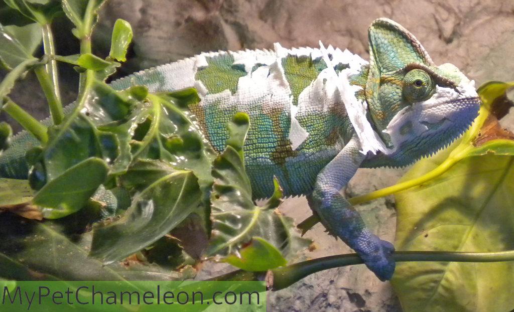 molting-chameleon-shedding-skin
