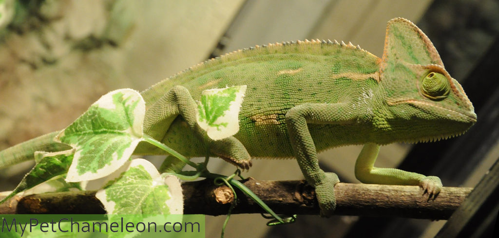 veiled-chameleon-female