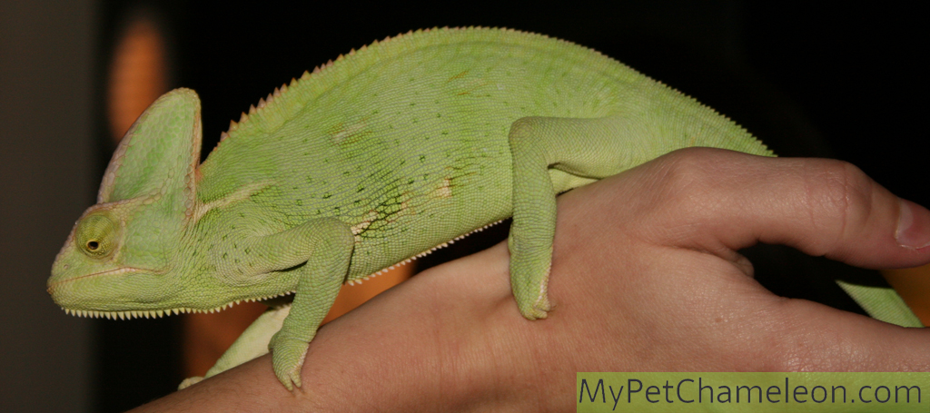 Welcome to MyPetChameleon.com