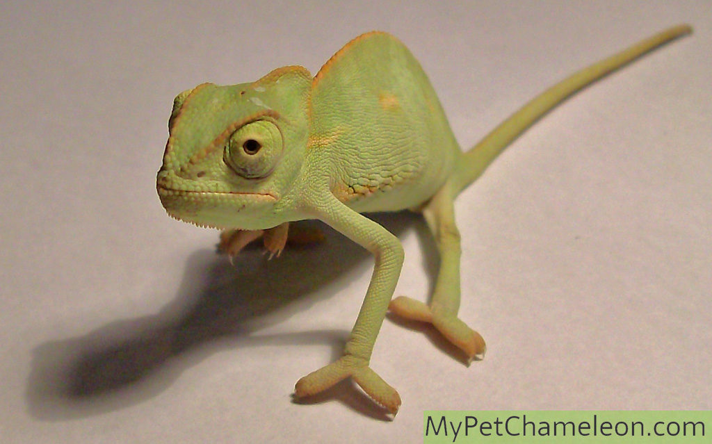 A healthy 3-month old veiled chameleon.