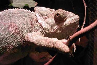 An unhealthy veiled chameleon