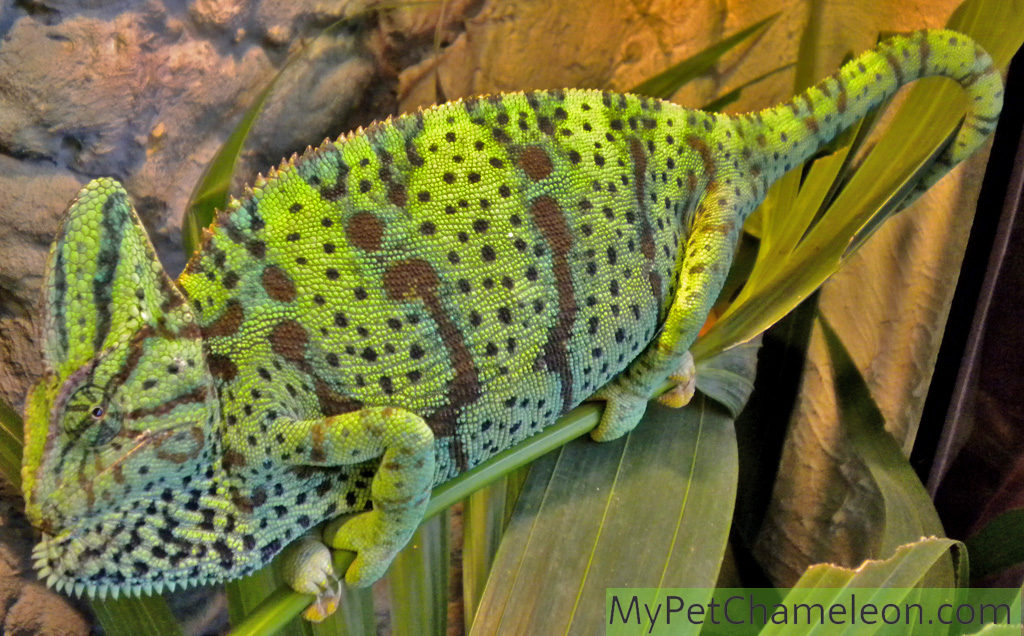 Healthy adult female veiled chameleon, showing with her colors and throat that she does not want to be approached.