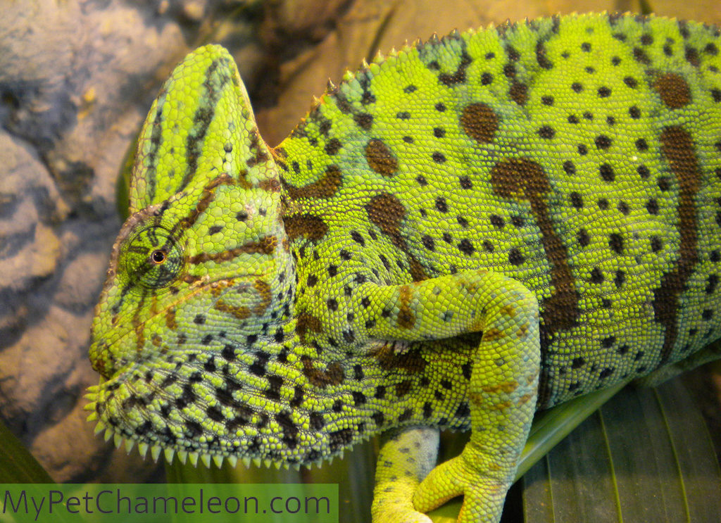 An adult female veiled chameleon showing with her colors and throat that she does not want to be approached.