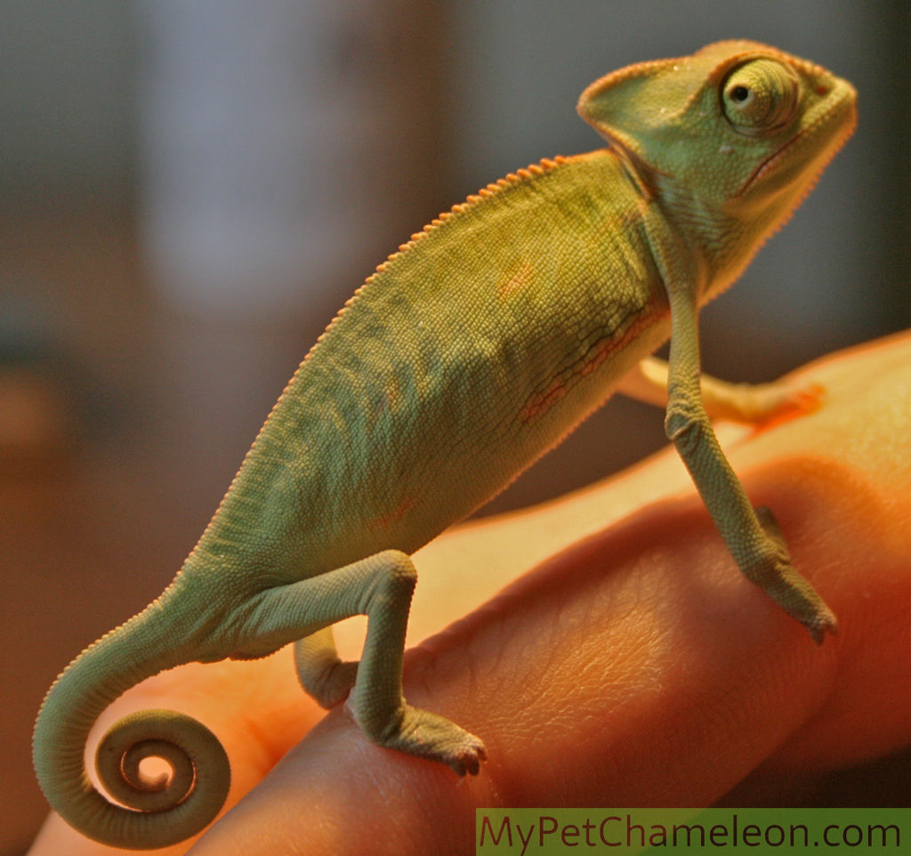 Around 3 month old veiled chameleon