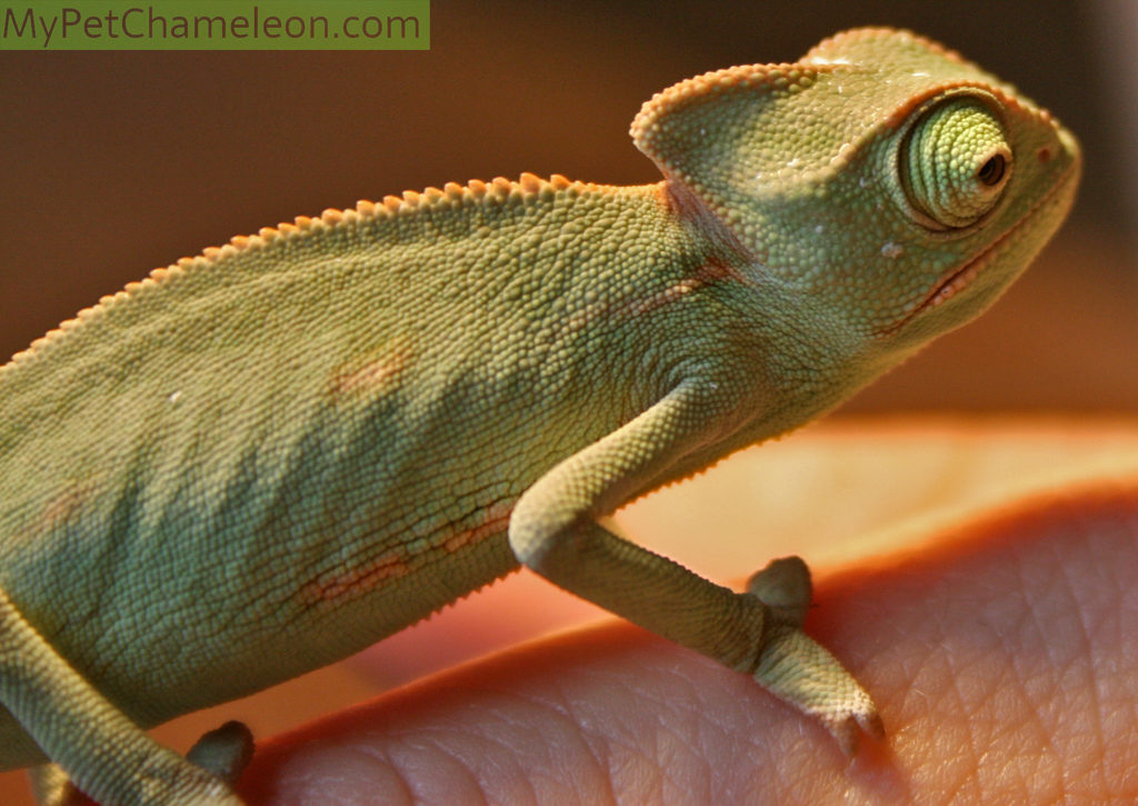 A young veiled chameleon of 3 months old.