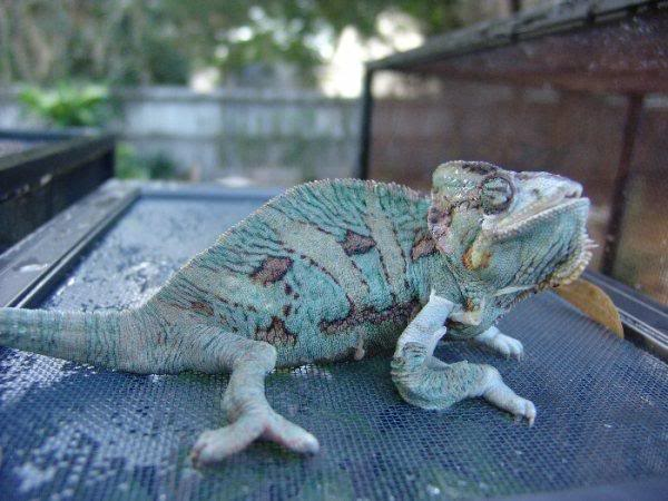 Veiled chameleon with Metabolic Bone Disease (MBD)