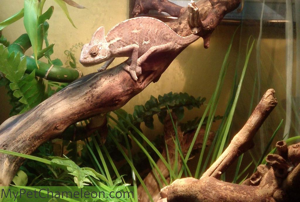Dark colored veiled chameleon