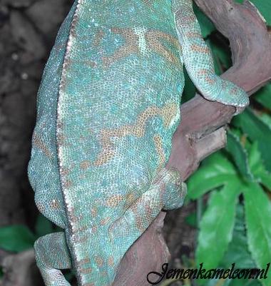 Eggs inside pregnant chameleon