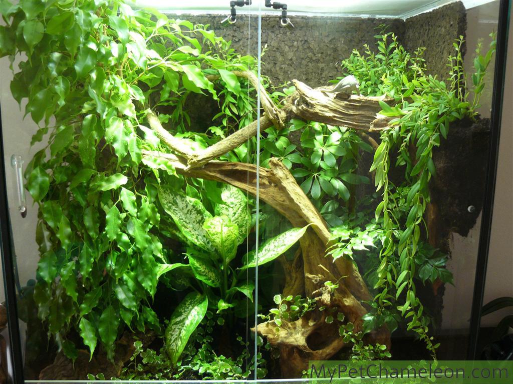 A Good Terrarium For A Chameleon My Pet Chameleon