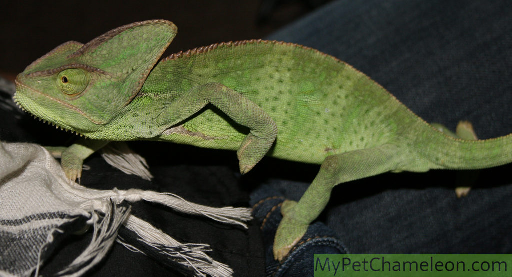 Healthy female yemen chameleon