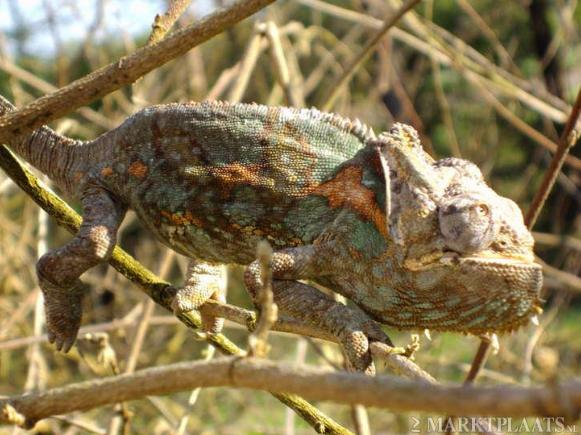 This veiled chameleon is severly misshapen. Who knows what problems it has next to rickets and MBD.