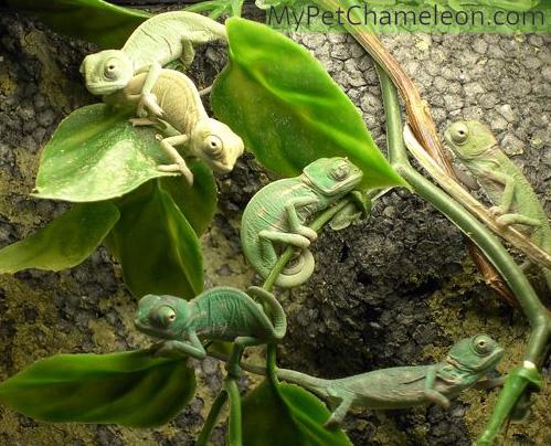 Newborn veiled chameleons