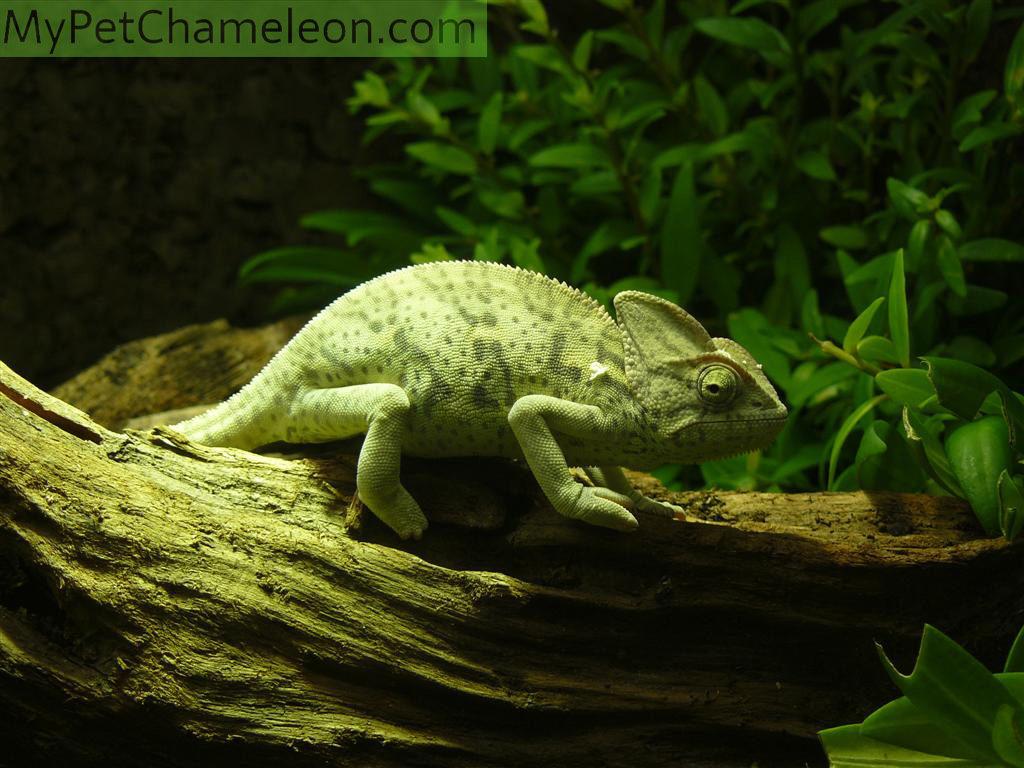 veiled-chameleon2